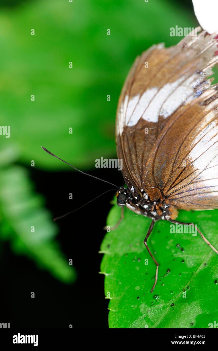 Farfalle tropicali a riposo su una foglia verde Immagini Stock