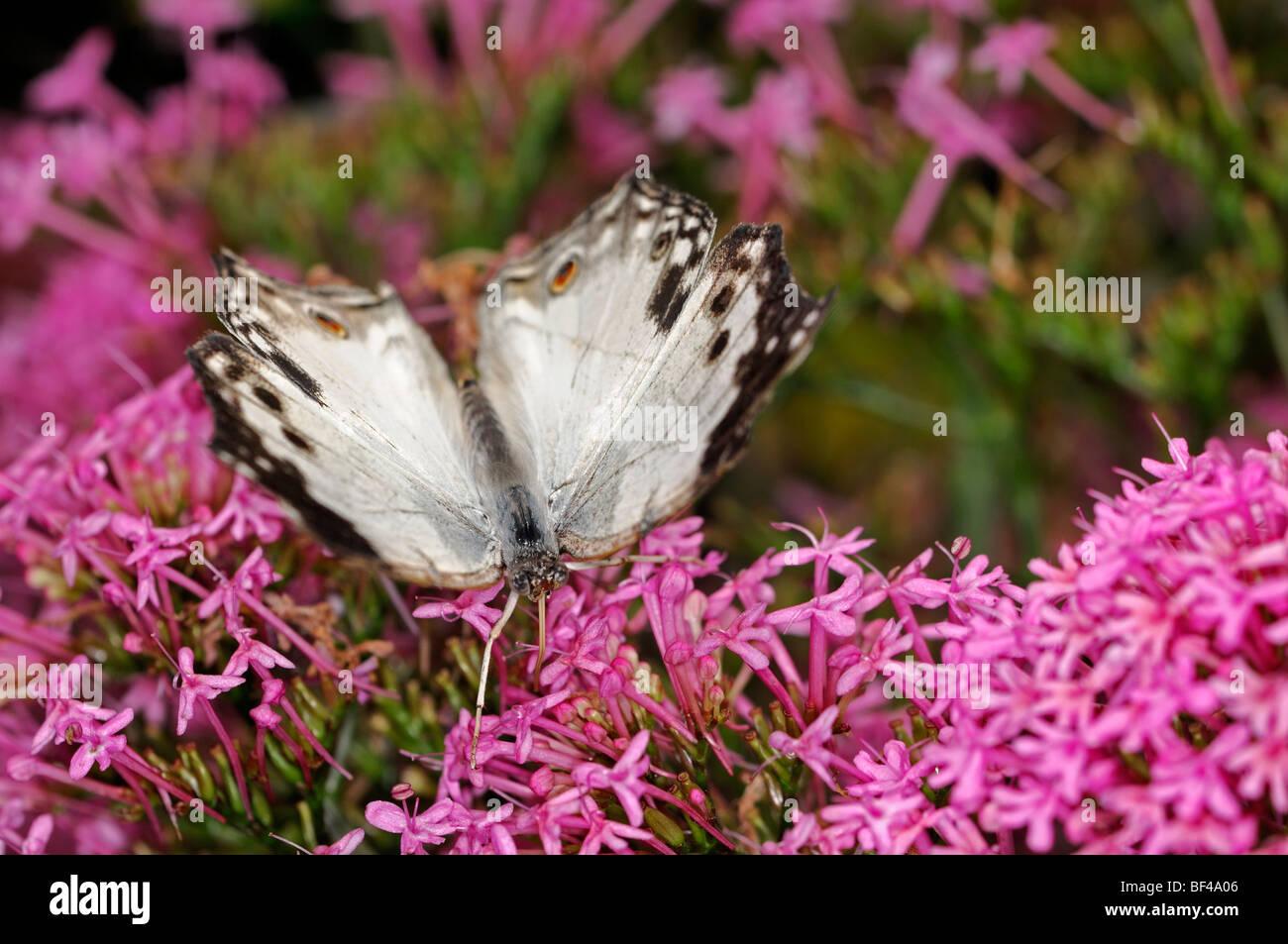 Farfalle tropicali bere alimentazione alimentazione buddleia bush Immagini Stock
