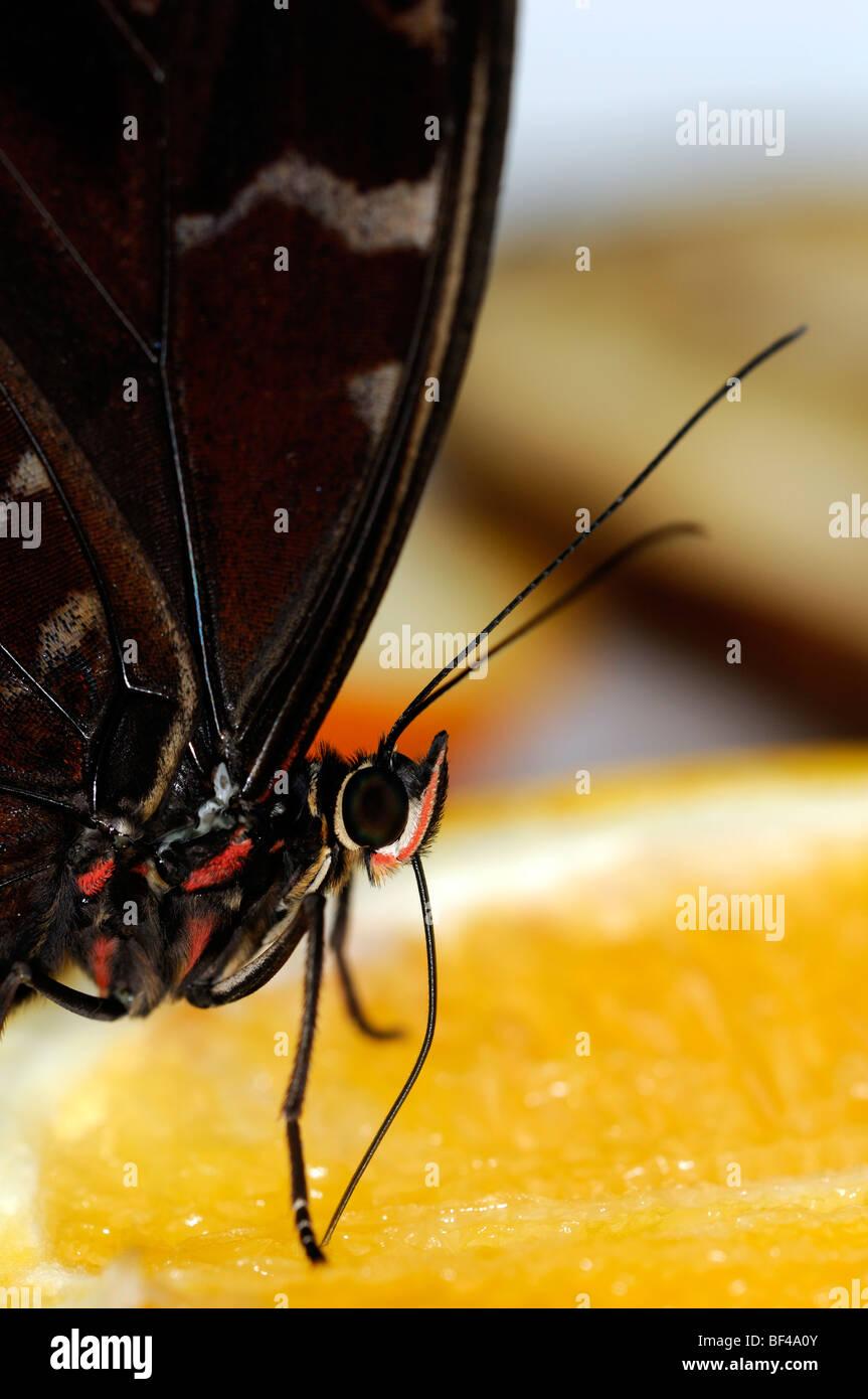 Limone Pansy butterfly, Junonia lemonias farfalle tropicali bere alimentazione alimentazione fetta di arancia Immagini Stock