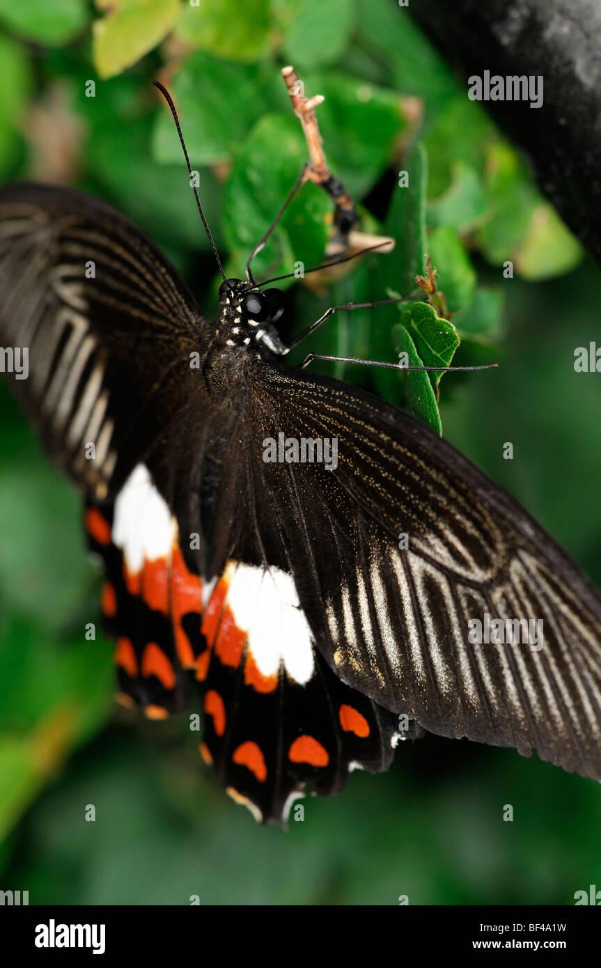 Farfalle tropicali a riposo arancione bianco marrone Immagini Stock