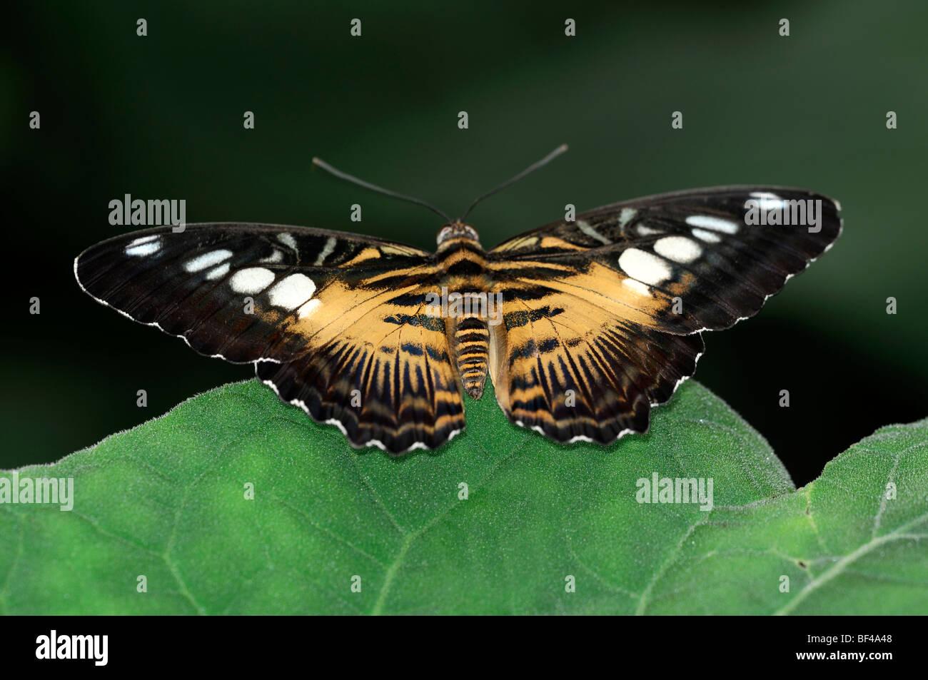 Parthenos sylvia o clipper di farfalle tropicali a riposo su una foglia verde marrone arancione Immagini Stock