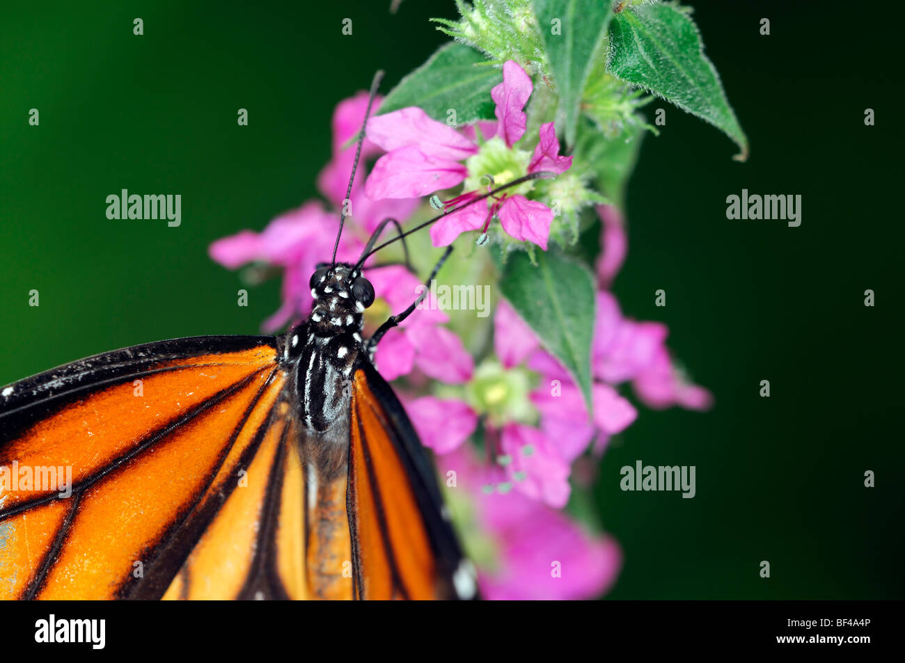 La Monarch (Danaus plexippus) farfalle tropicali nettare potabile arancione a strisce nere Immagini Stock