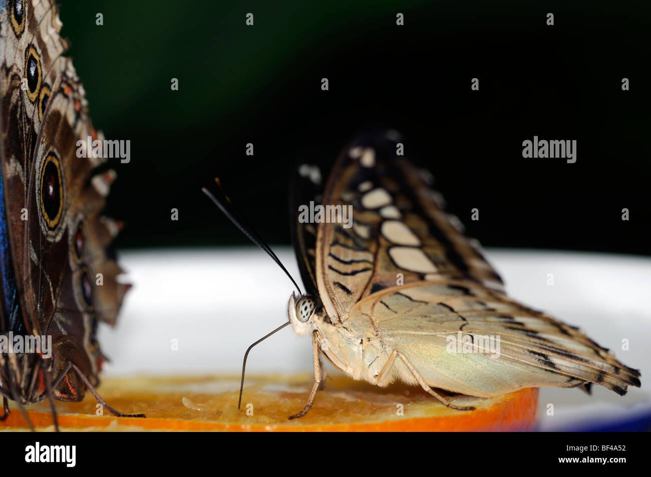 Parthenos sylvia farfalle tropicali di alimentazione alimentazione su una fetta di arancio bianco marrone Immagini Stock