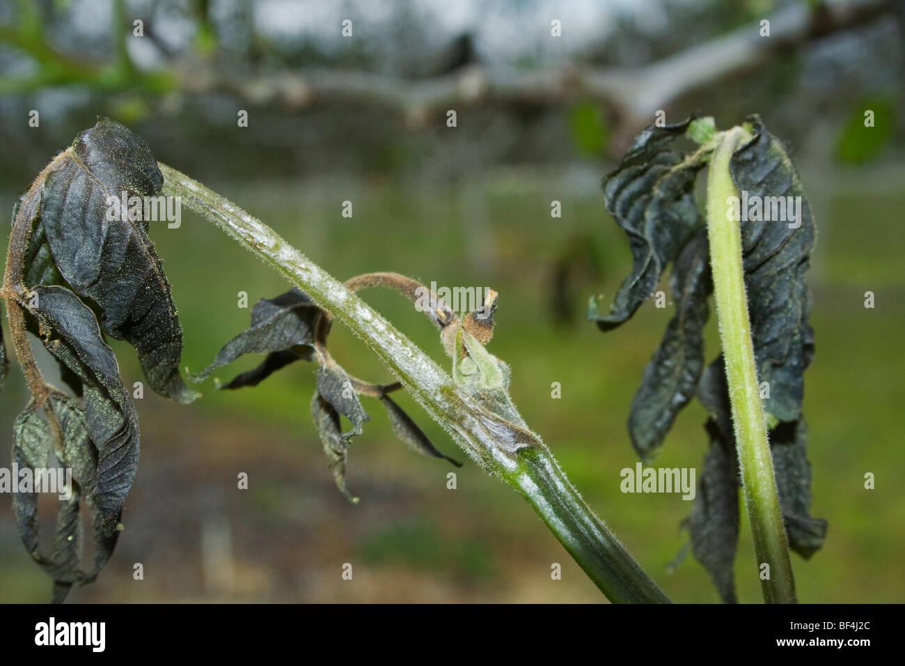 Agricoltura - Morto il fogliame di noce causato da un pesante molla insolita congelamento / vicino Dairyville, California, Stati Uniti d'America. Foto Stock