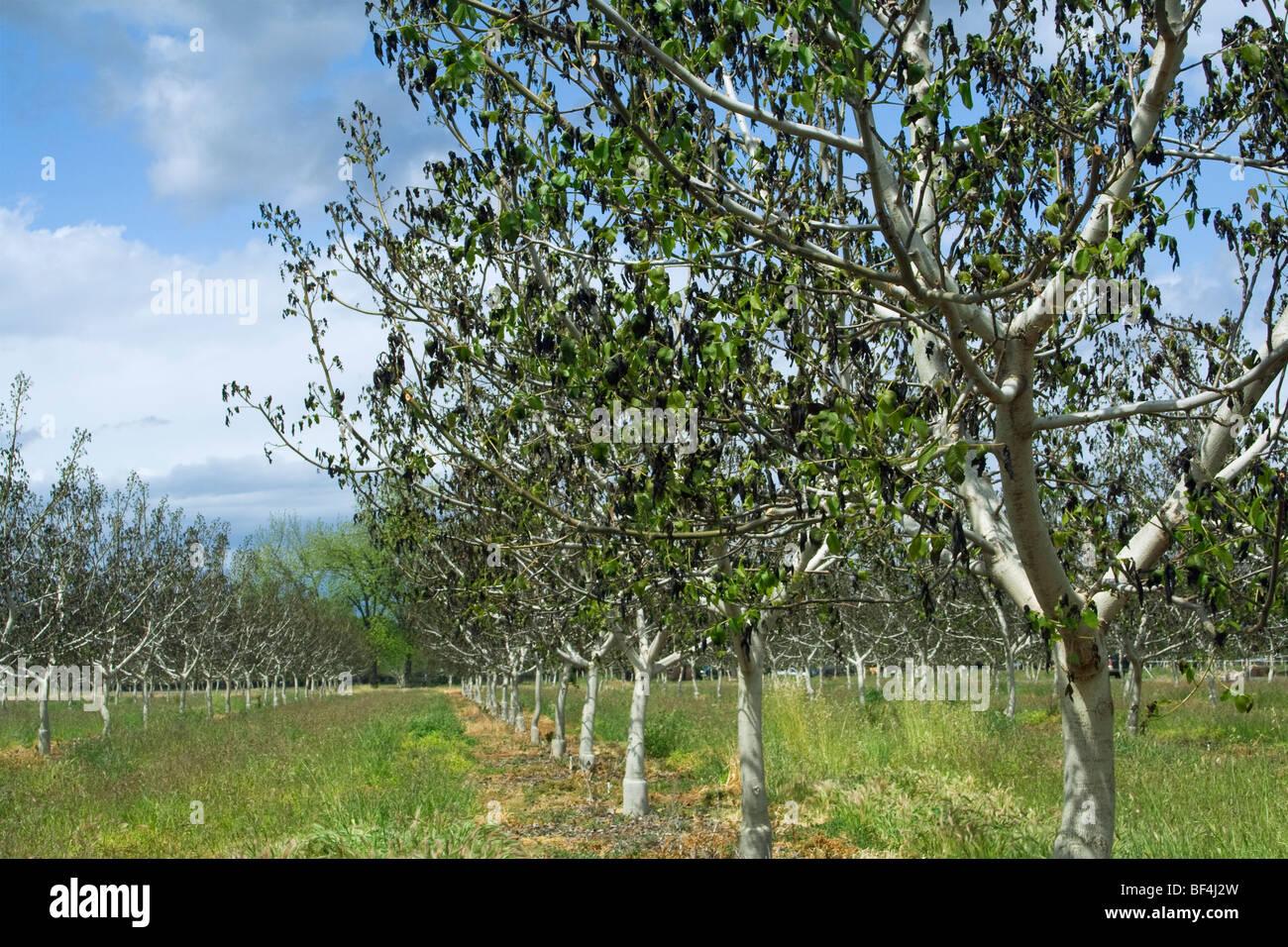 Agricoltura - Danni alberi di noce causato da un pesante molla insolita congelamento / vicino Dairyville, California, Stati Uniti d'America. Foto Stock