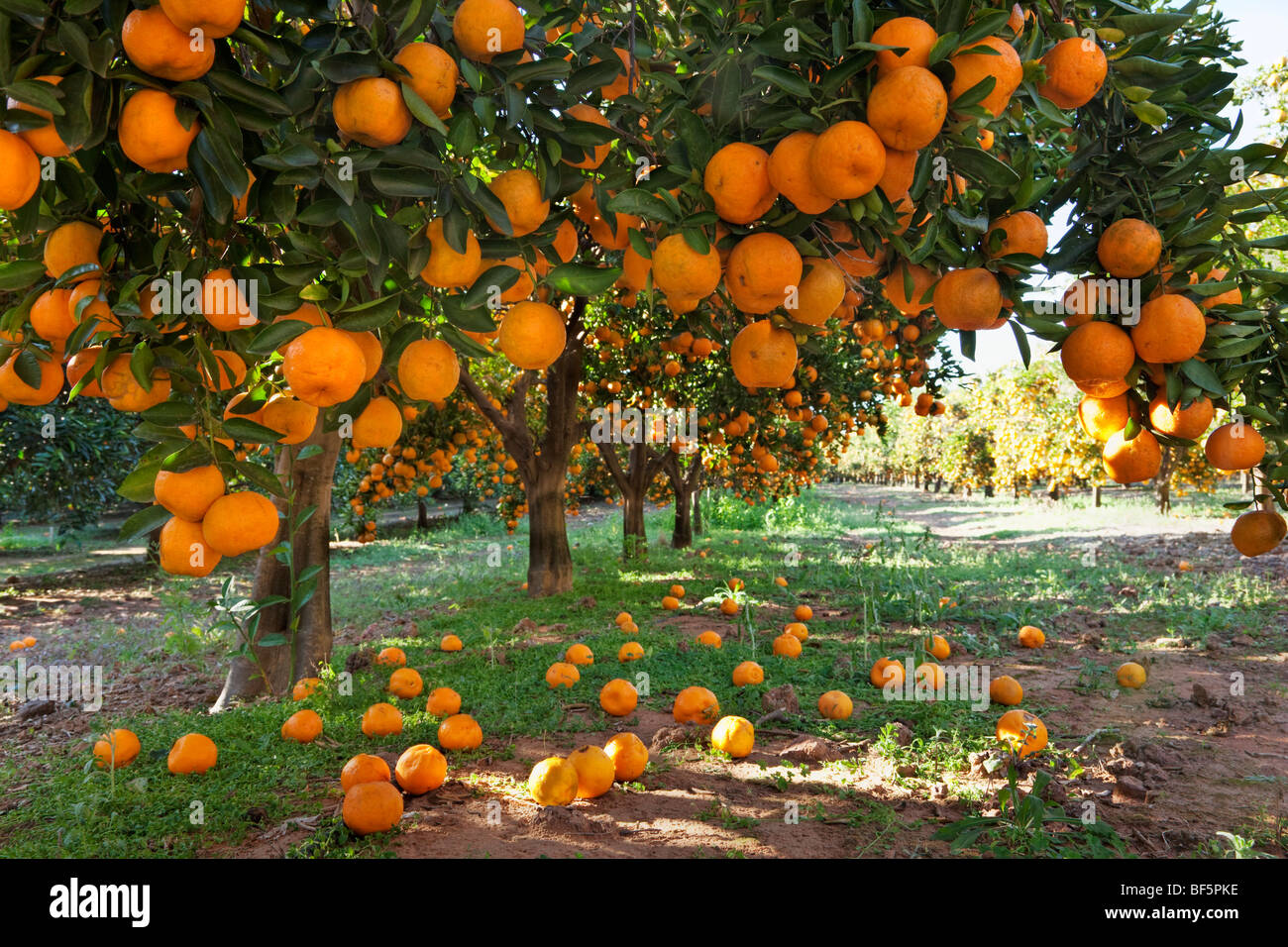 Orange laden alberi da frutto in un frutteto Immagini Stock