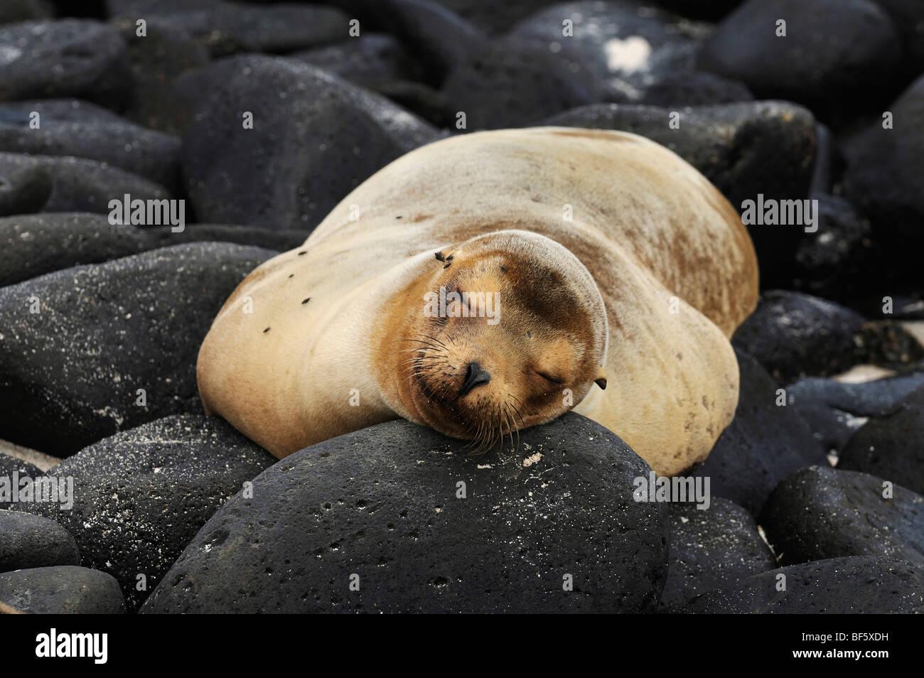 Le Galapagos Sea Lion (Zalophus wollebaeki), adulto in spiaggia, all'Isola Espanola, Galapagos, Ecuador, Sud Immagini Stock