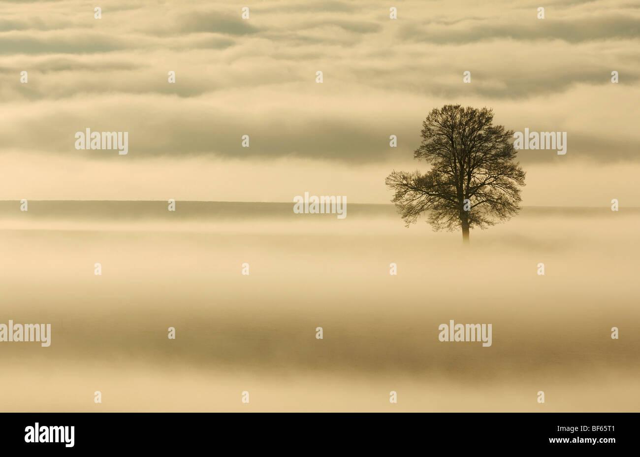 Farnia (Quercus robur) in caso di nebbia, Svizzera, Europa Immagini Stock
