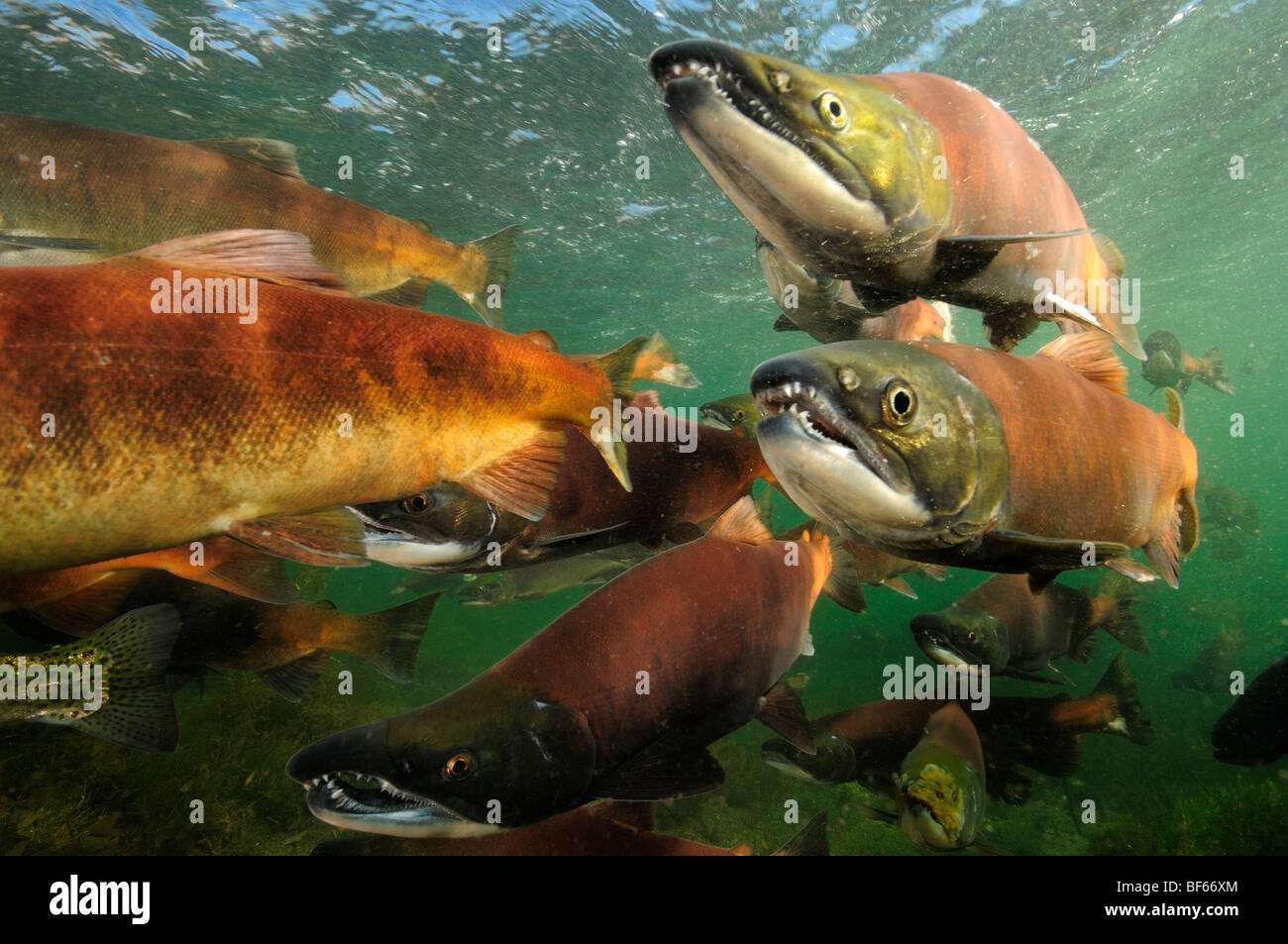 Rosso Salmone, Oncorhynchus nerka, Il Salmone Kokanee, East River, Colorado Immagini Stock