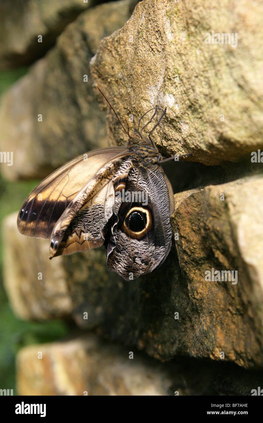 Appena emerso farfalla Civetta, Caligo eurilochus, Nymphalidae, tropicali del Sud e America centrale Immagini Stock