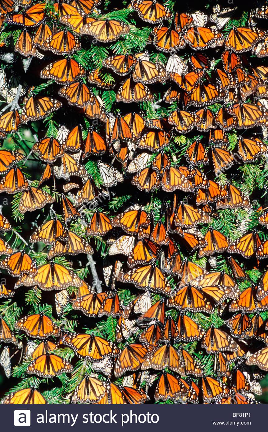 Farfalle monarca sunbasking, Danaus plexippus, Michoacan, Messico Immagini Stock