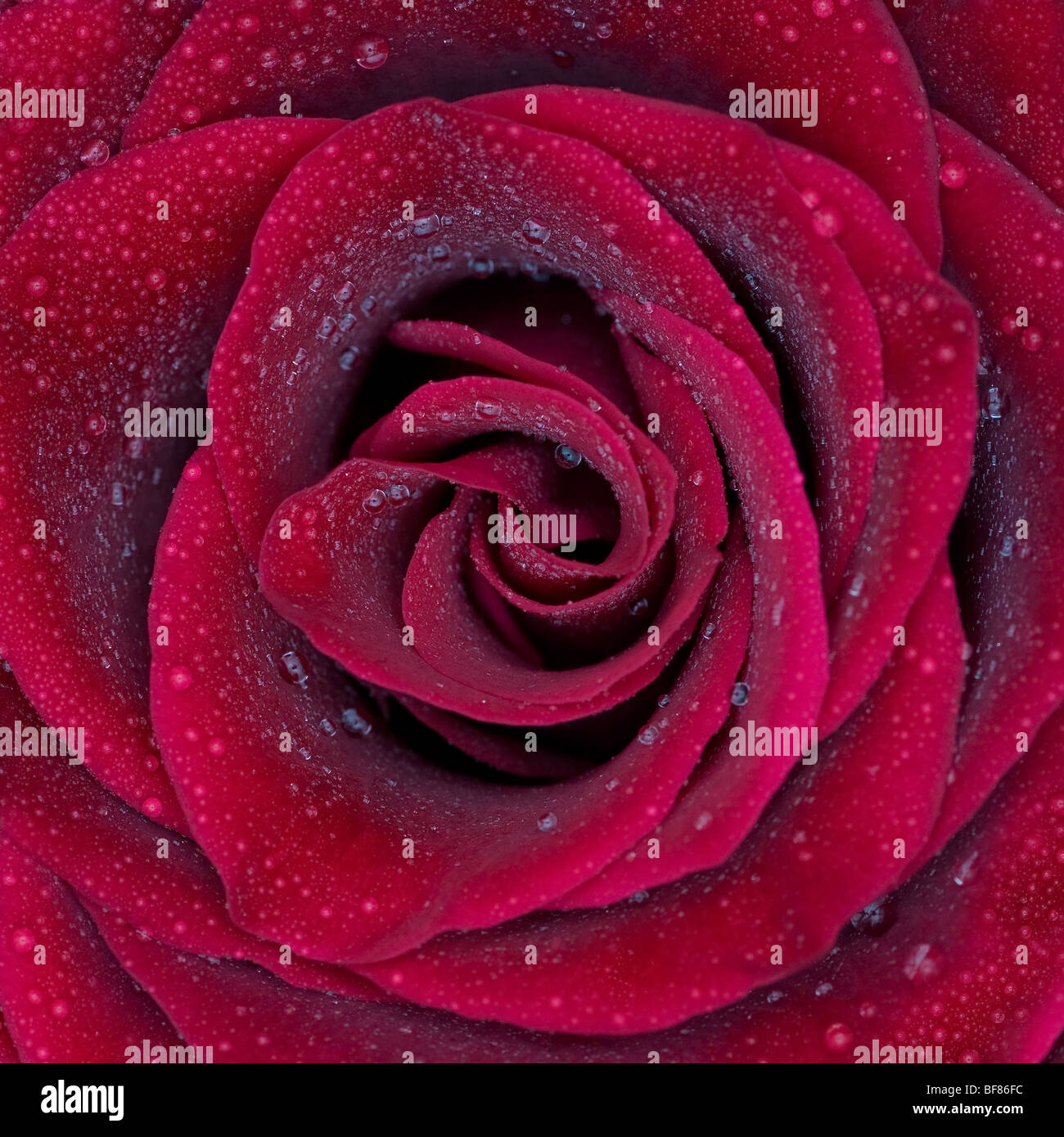 Red Rose con gocce d'acqua Immagini Stock