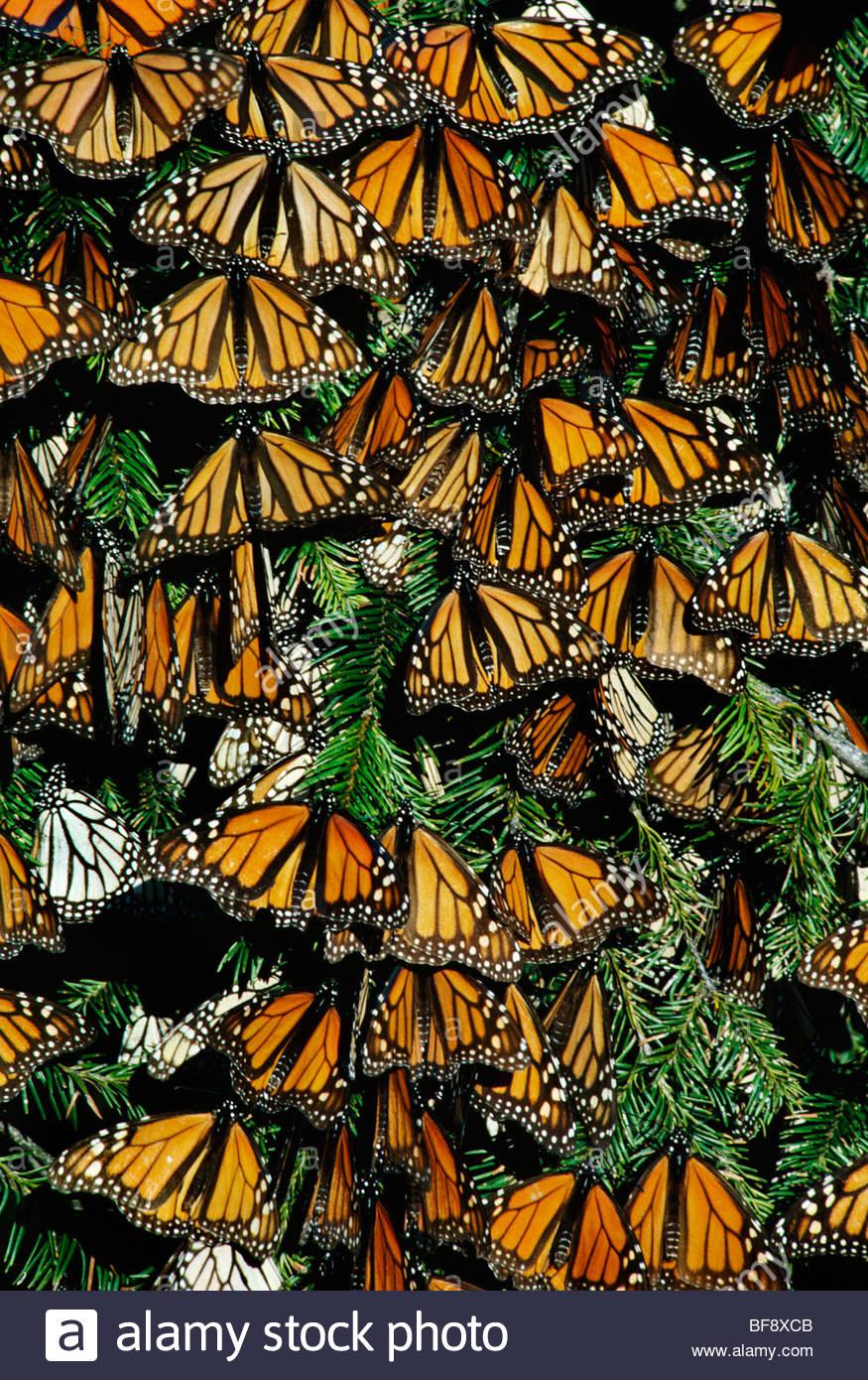 Farfalle monarca, Danaus plexippus, Michoacan, Messico Immagini Stock
