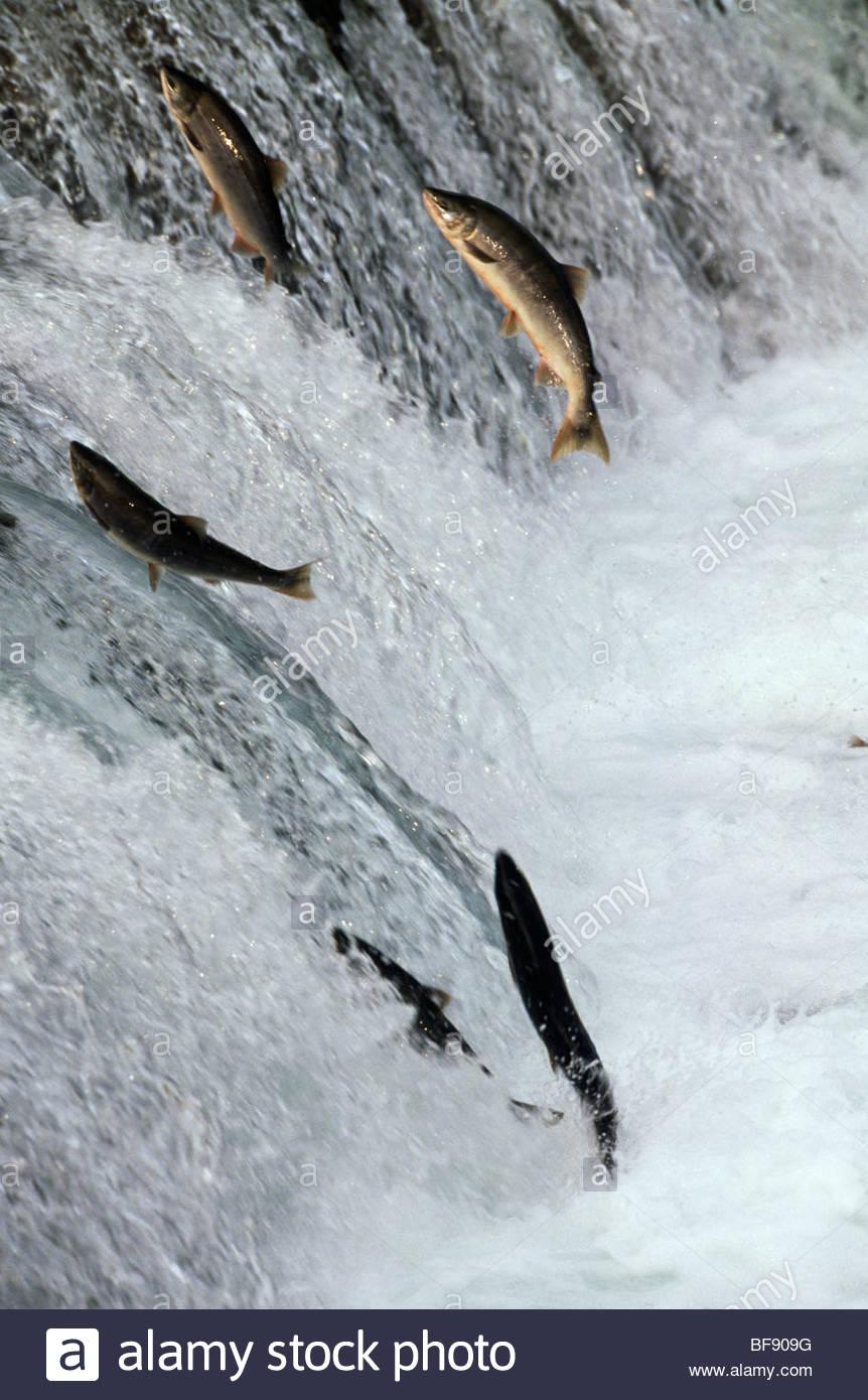 La migrazione di salmone che nuota a monte di spawn, Katmai National Park, Sud-est di Alaska Immagini Stock