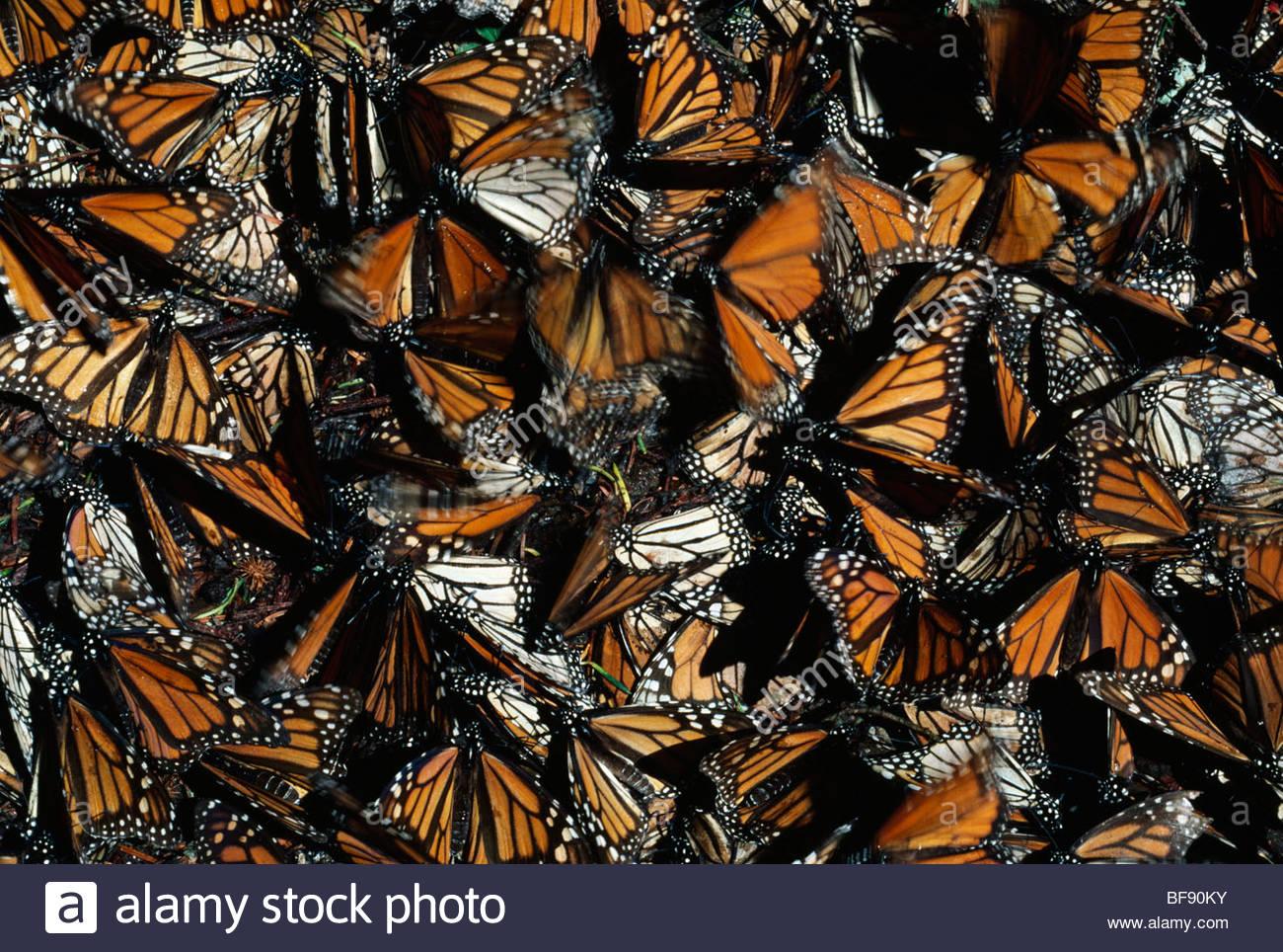 Farfalle monarca abbattuto da alberi dalla tempesta di neve, Danaus plexippus, Michoacan, Messico Immagini Stock