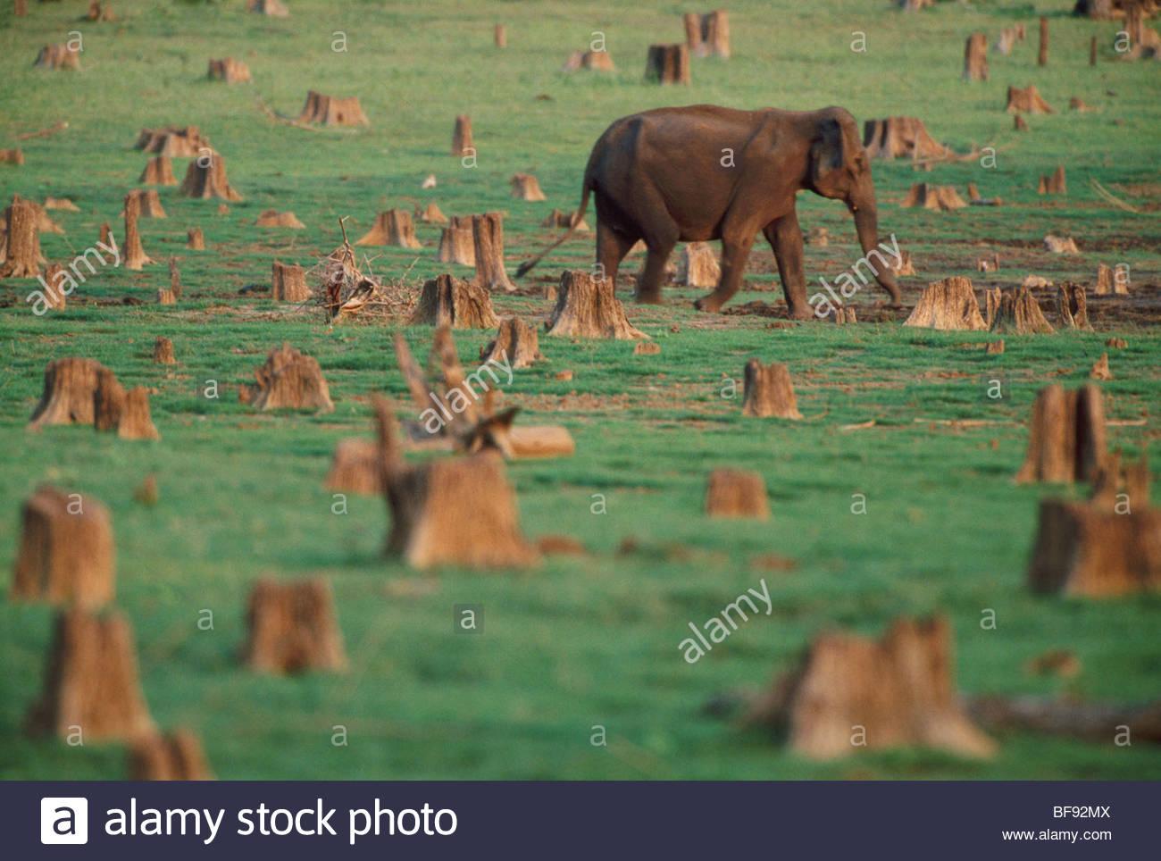Elefante asiatico rovistando sul lungolago nel mezzo di ceppi di alberi, Elephas maximus, Nagarahole Parco Nazionale, Immagini Stock