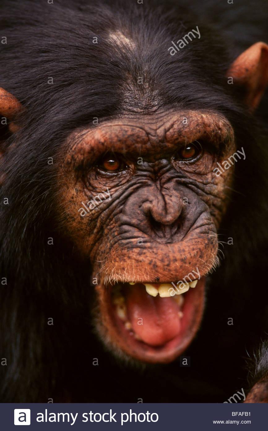 Scimpanzé, Pan troglodytes, Kenya Immagini Stock