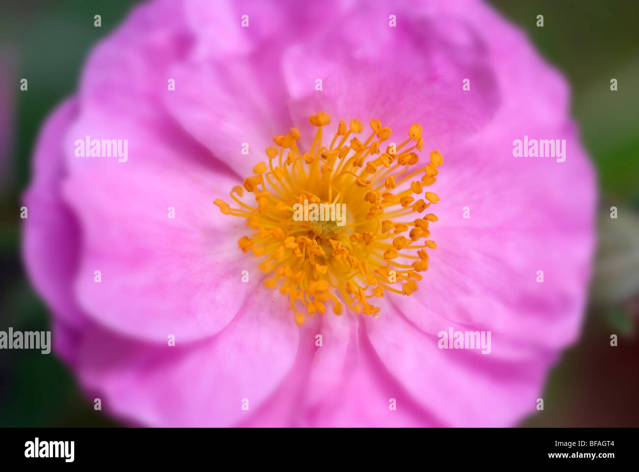 Rosa Rose in miniatura, polline, magenta rose Immagini Stock