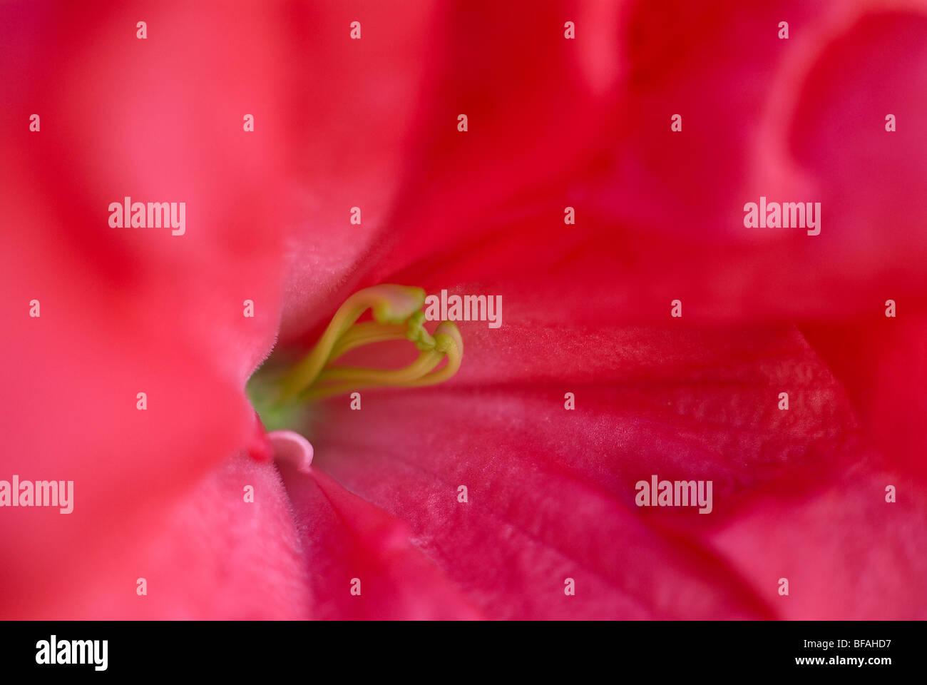 Azalea, azalea colore rosa, magenta stame, close-up ravvicinato, luminoso fiore rosa Immagini Stock