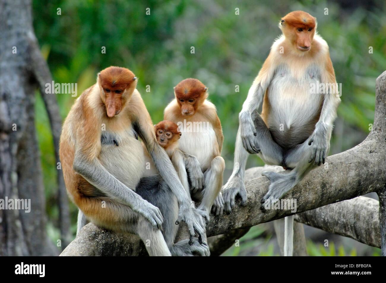 Gruppo familiare di proboscide scimmie (Nasalis larvatus) femmine e giovani seduti sui rami, Labuk Bay, Sabah, Malesia, Immagini Stock