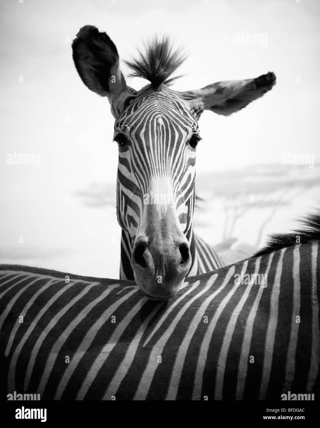 Diorama con due di Grevy zebre (Equus grevyi). L'Accademia delle Scienze della California, San Francisco, California. Immagini Stock
