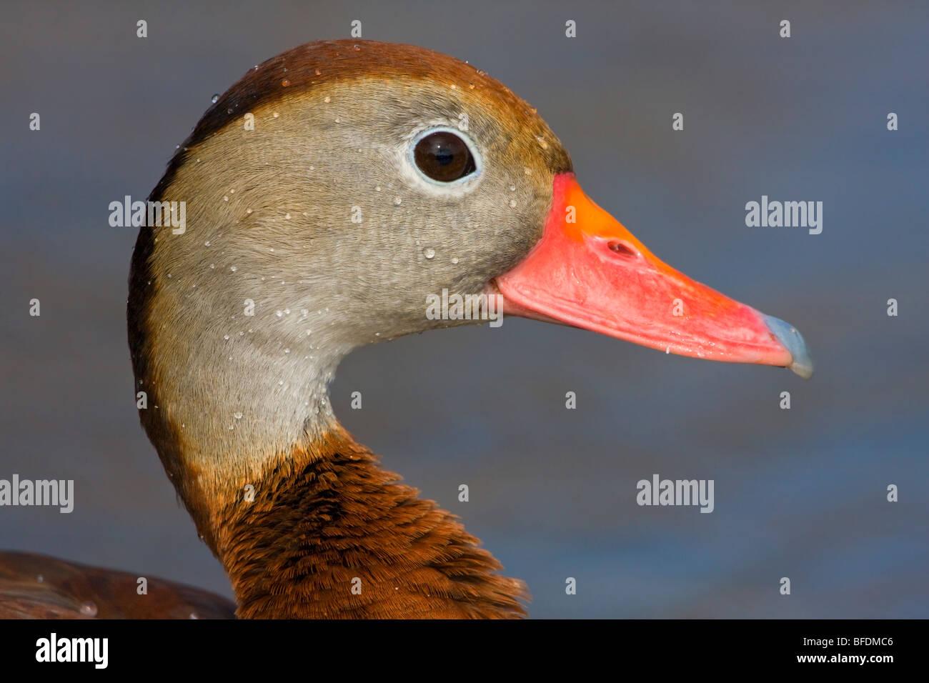 Rospo Whistling-Duck (Dendrocygna autumnalis) nuotare nel laghetto vicino a Houston, Texas, Stati Uniti d'America Immagini Stock
