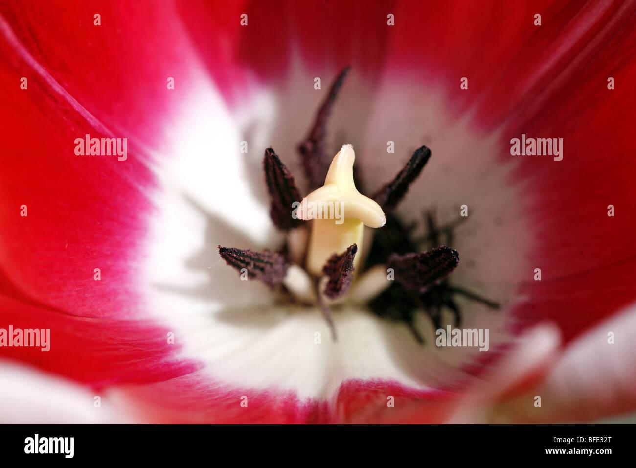 Lampada Fiore Tulipano : Il cade di un rosso e bianco fiore tulipano mostra il stami e