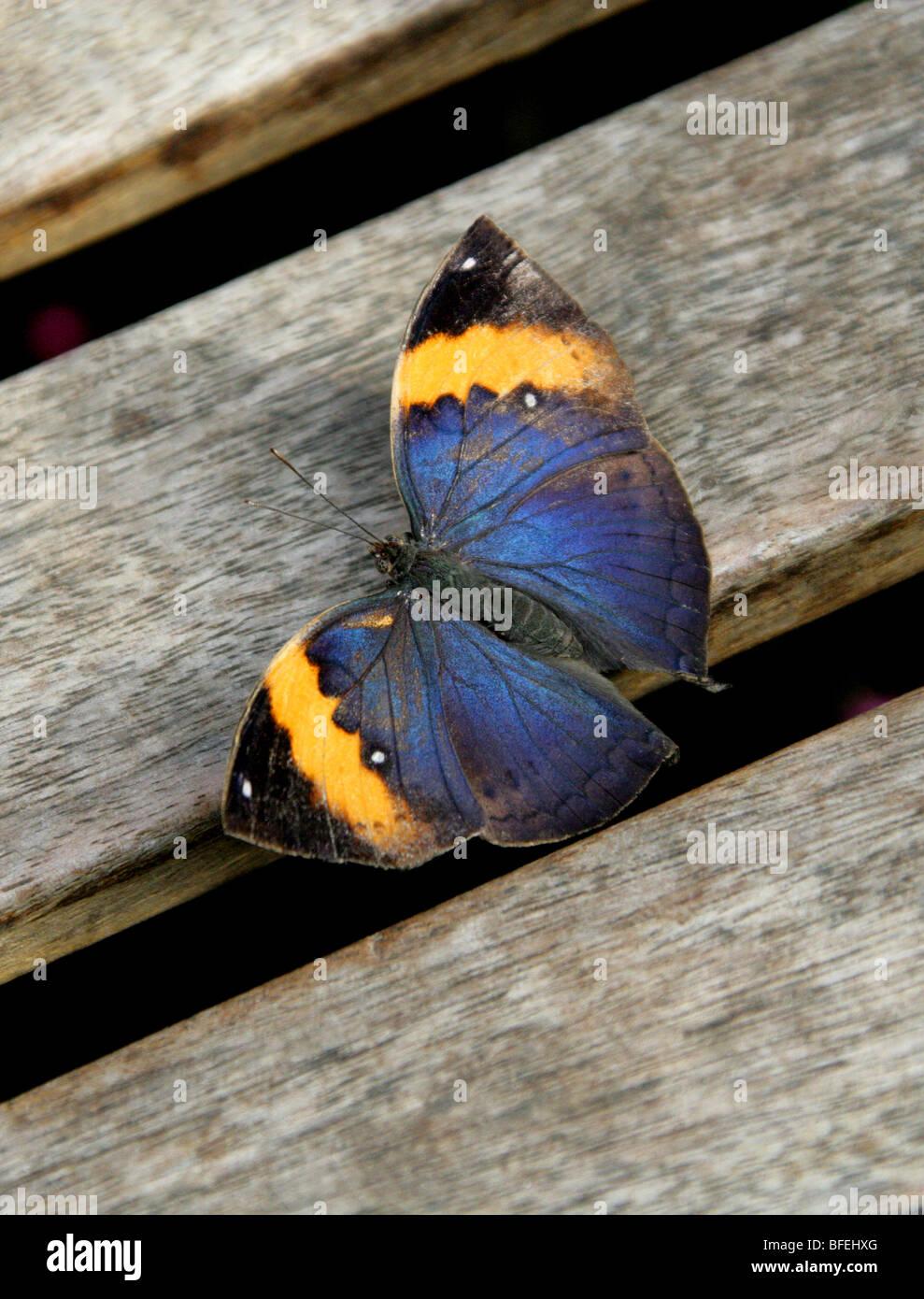Foglia indiano Butterfly, Kallima inachus, Nymphalidae (femmina). Immagini Stock