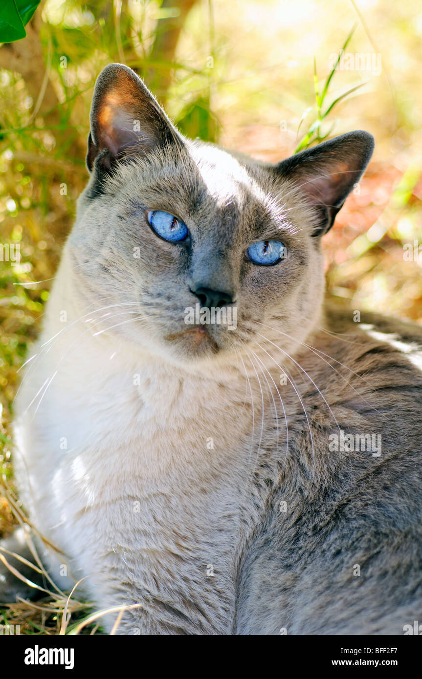 Siamese Blue Point Cat Foto Immagine Stock 26761483 Alamy