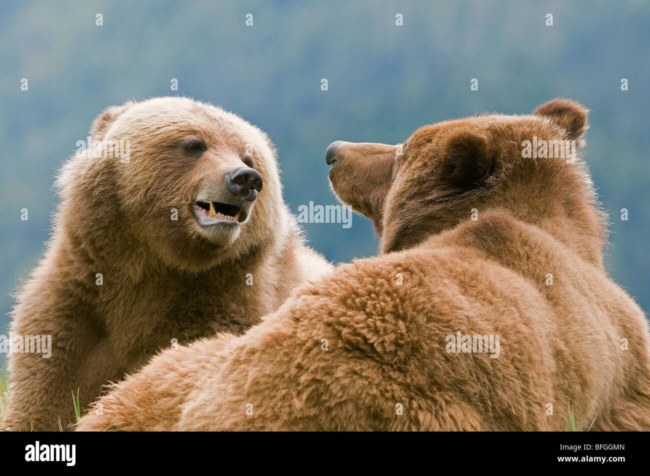 Maschio e femmina (Grizzly Ursus arctos horribilis) flirt con ogni altro durante la stagione di accoppiamento a Immagini Stock