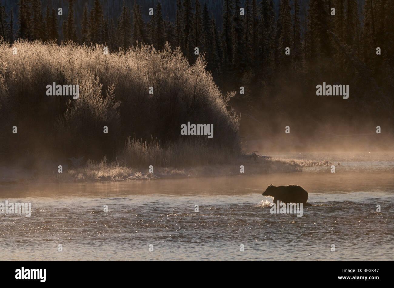 Orso grizzly (Ursus arctos) attraversando la pesca sul fiume di diramazione, Ni'iinlii Njik Riserva Ecologica, Immagini Stock