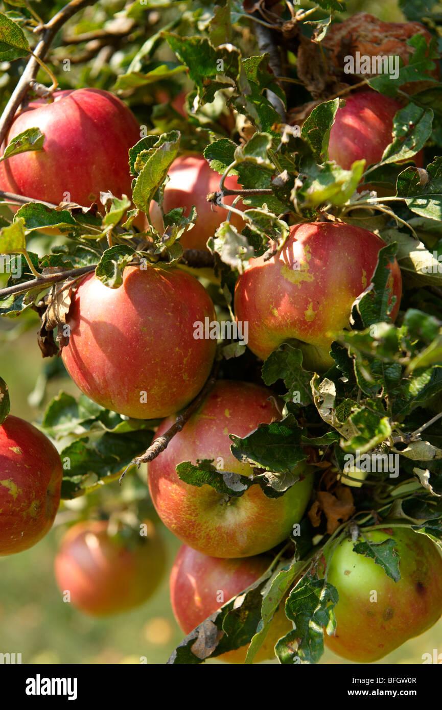 Badascony, Apple tree - Badascony, Balaton, Ungheria Immagini Stock
