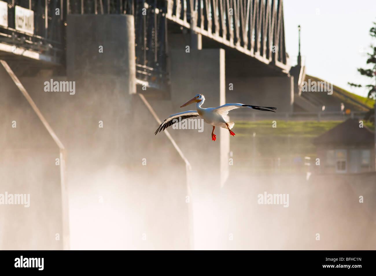 Americano bianco Pelican atterraggio sul Fiume Rosso. St Andrews Lock e diga un sito storico nazionale situato in Immagini Stock