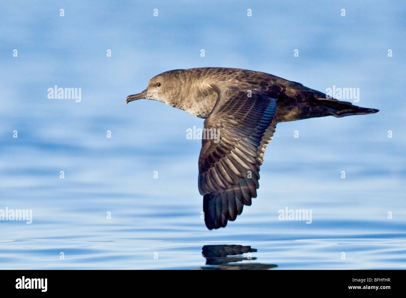 Fuligginosa Shearwater (Puffinus griseus) volare al largo della Costa Victoria, BC, Canada. Immagini Stock
