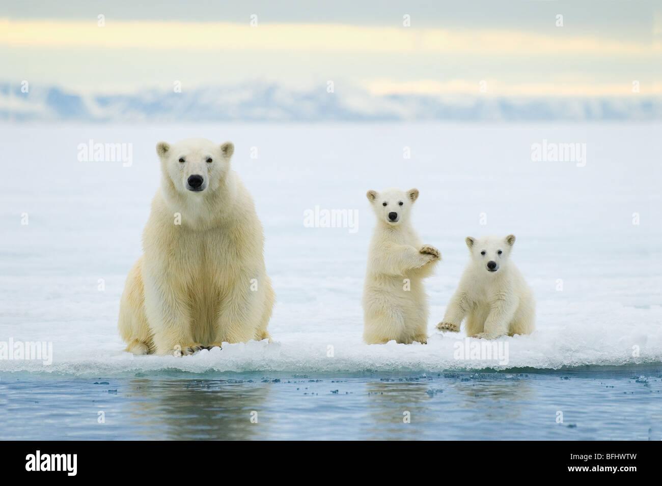 Orso polare madre (Ursus maritimus) e twin cubs dell'anno caccia sulla banchisa, arcipelago delle Svalbard, Immagini Stock