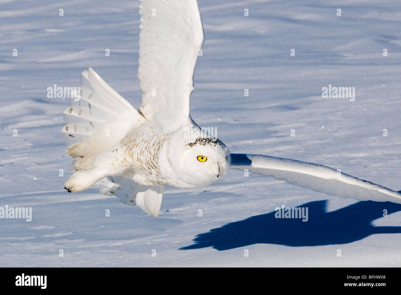 Caccia civetta delle nevi (Bubo scandiaca), prairie Alberta, Canada Immagini Stock