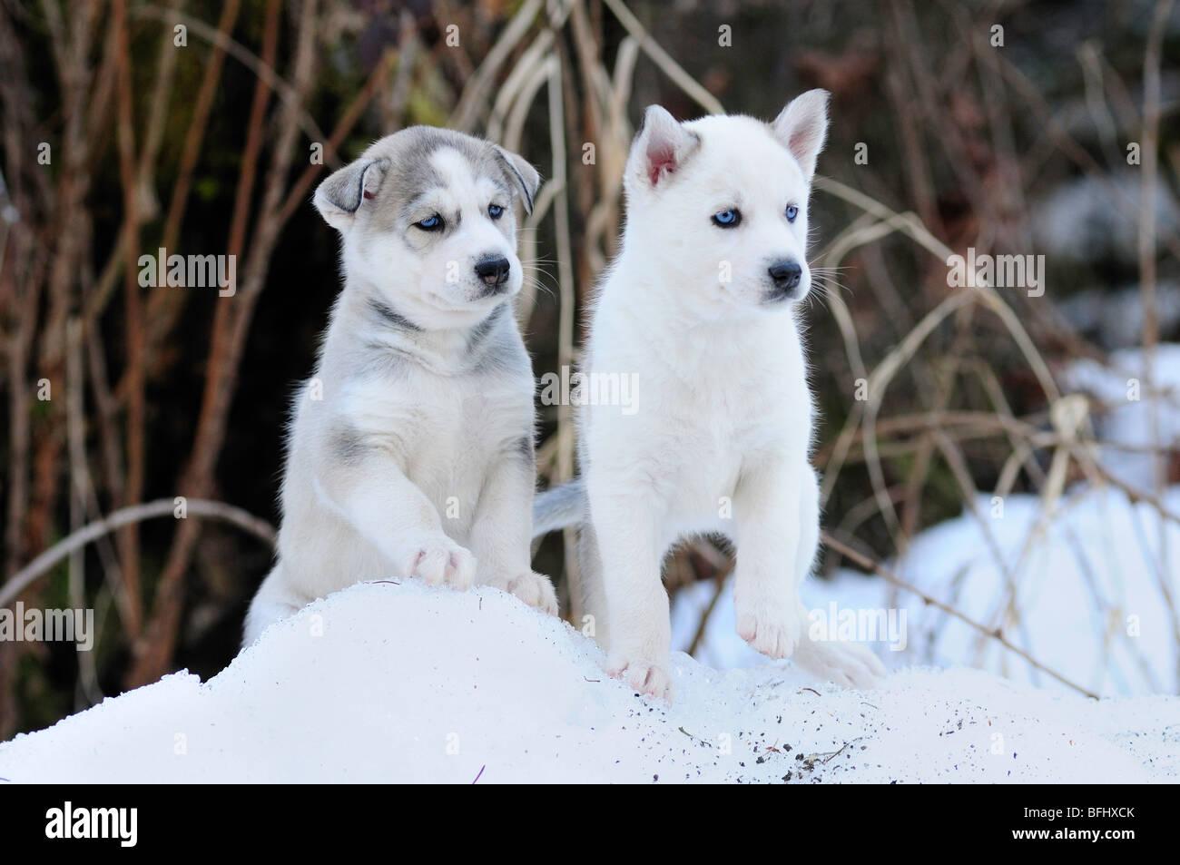 Sei settimane di età di razza Siberian Husky cuccioli nella neve a Bright Angel Park, stazione di Cowichan, Immagini Stock