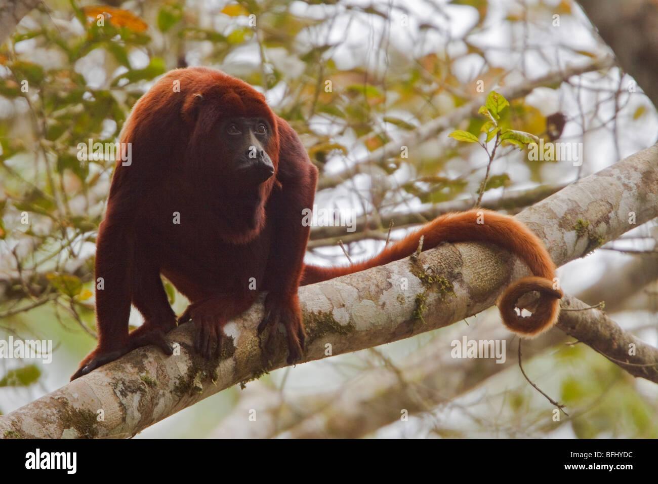 Una scimmia appollaiata in una struttura ad albero amazzonica in Ecuador. Immagini Stock