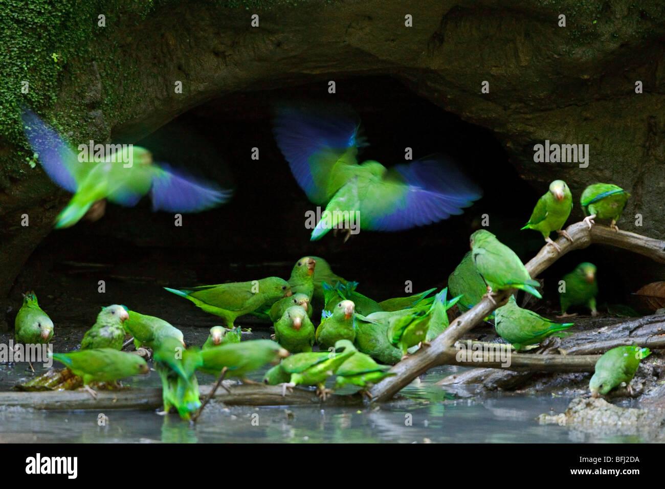 Cobalto-winged parrocchetto (Brotogeris cyanoptera) sorge nei pressi di una argilla leccare lungo il fiume Napo Immagini Stock