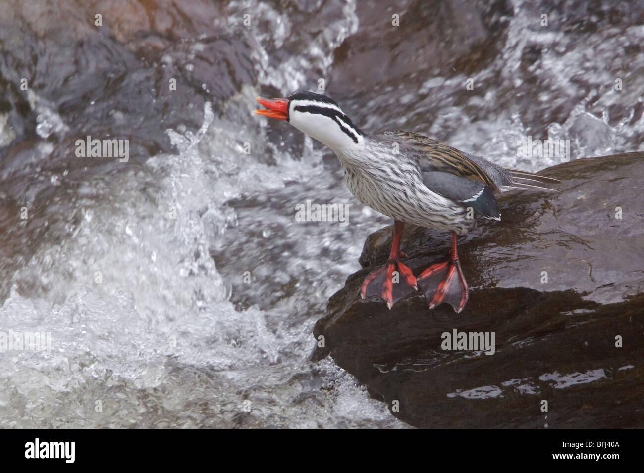 Torrent anatra (Merganetta armata) arroccata su una roccia a fianco di un flusso impetuoso nelle highlands centrali Immagini Stock