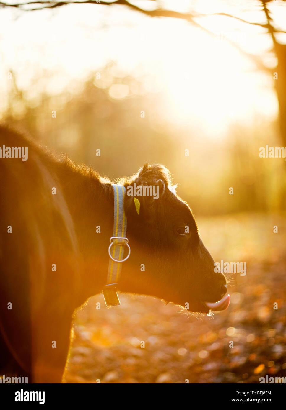 Una vacca contro la luce, Svezia. Immagini Stock