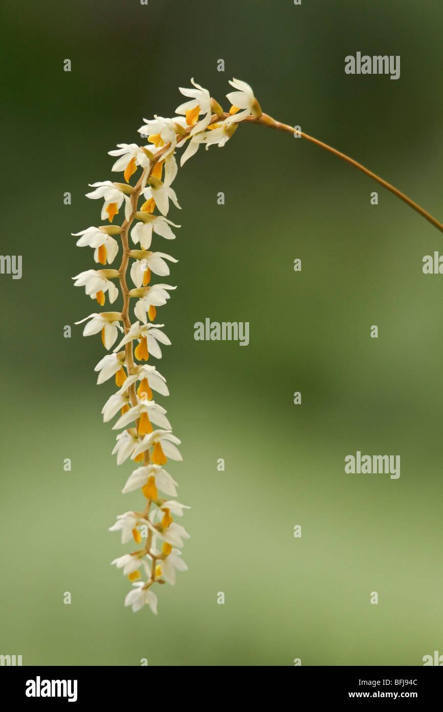 Un bel fiore di orchidee in una foresta pluviale ecuadoriana. Immagini Stock