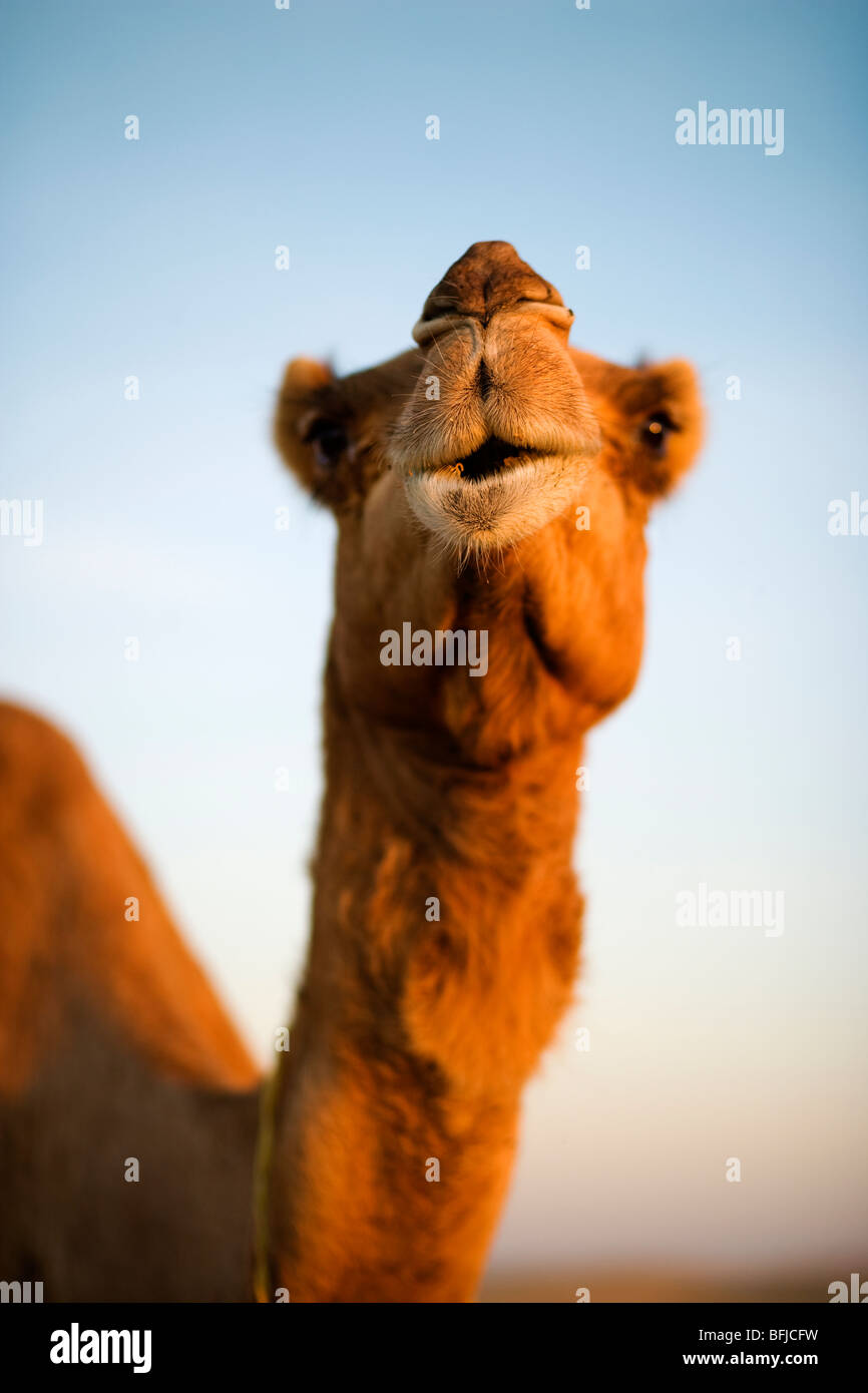 Un cammello nel deserto, Oman. Foto Stock