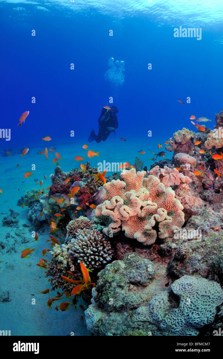 Scuba Diver barriere coralline e pesci colorati, 'Red Sea' Foto Stock