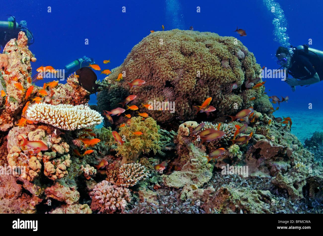 I subacquei sulla barriera corallina, 'Red Sea' Immagini Stock