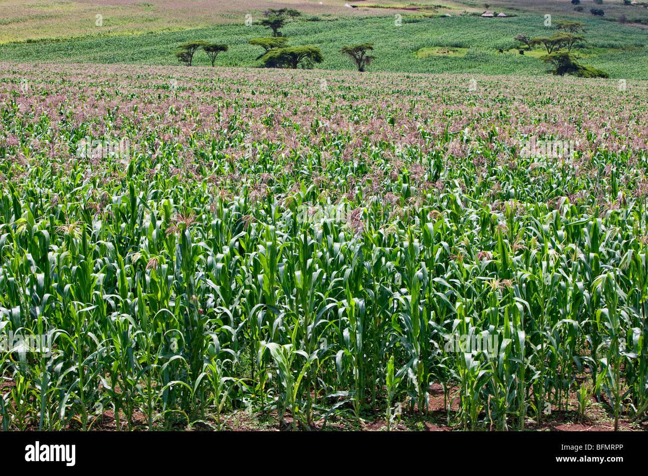 Un sano raccolto di mais bianco cresce a Endebess. Il mais è il cibo di graffa di tutti i keniani. Immagini Stock