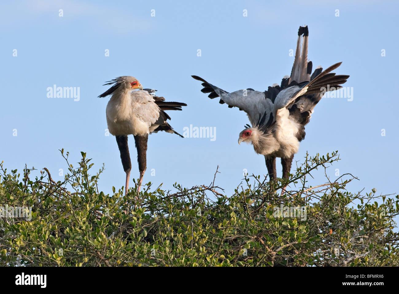 Kenya. Una coppia di segretario di nidificazione di uccelli nella Riserva Nazionale di Masai Mara. Immagini Stock