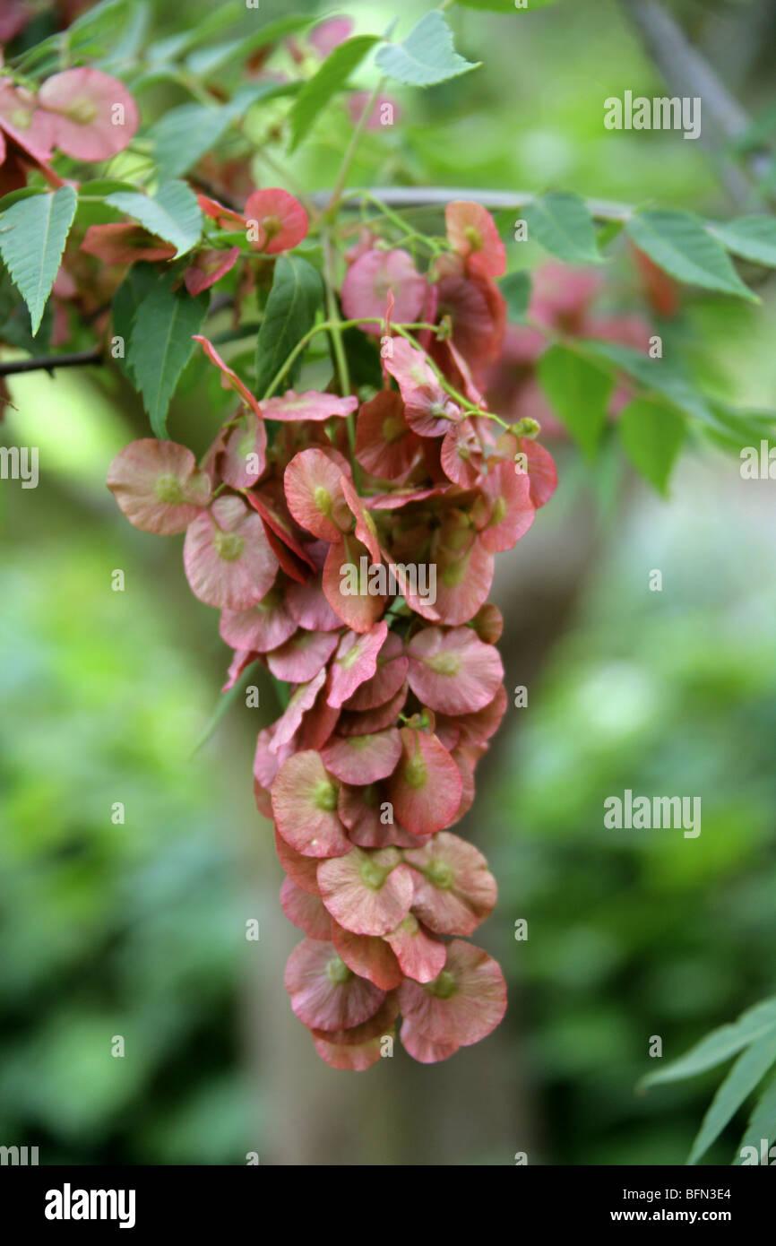 Dipteronia o Jin Feng Qian, Dipteronia sinensis, Sapindaceae (Aceraceae), Cina Immagini Stock