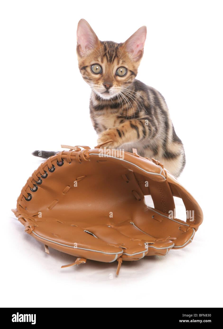 Il Bengala gattino con Guanto baseball singolo giovane femmina studio Immagini Stock