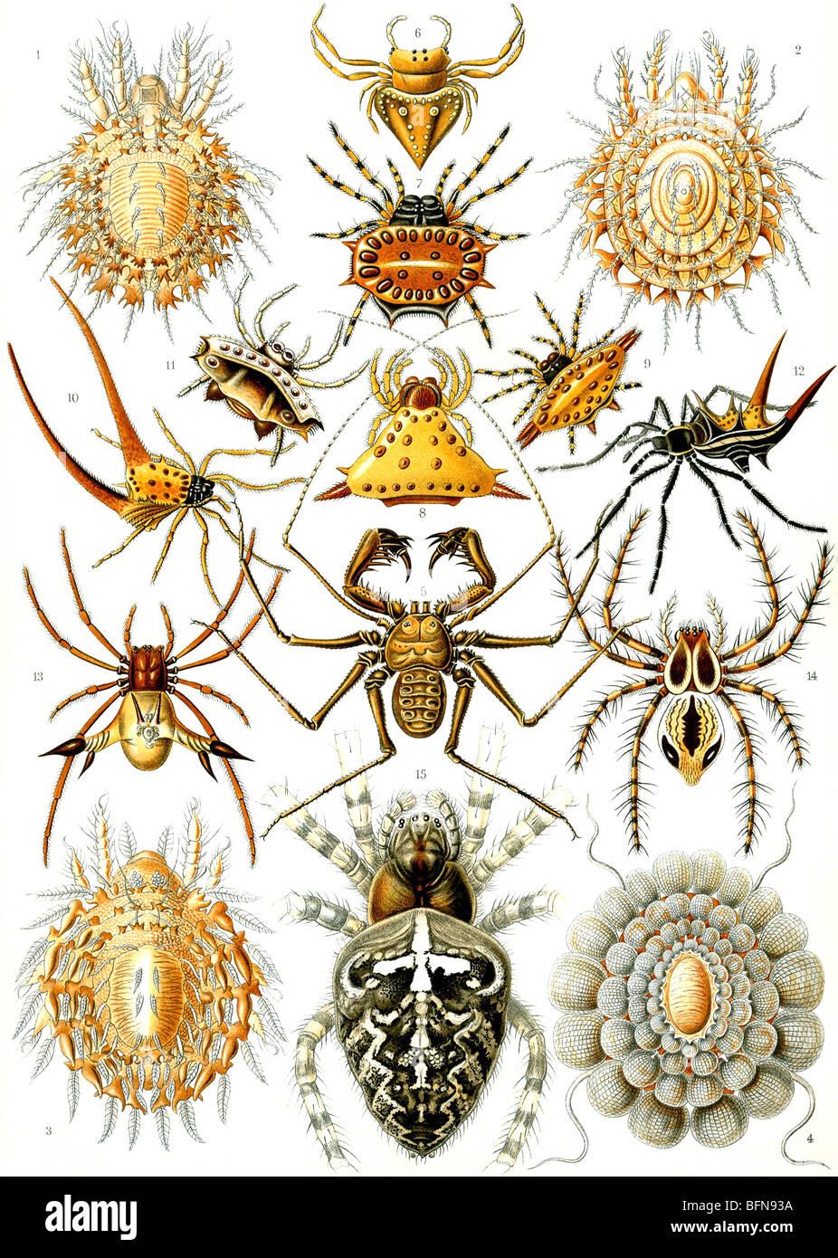 La piastra 66 da Ernst Haeckel's Kunstformen der Natur (1904), che mostra gli organismi classificati come Arachnida Immagini Stock